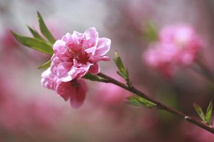 lower peach tree milf personals Lower peach tree is an unincorporated community in wilcox county, alabama,  united states the community was named for a peach tree which stood near the .