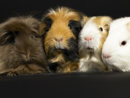 A guinea pig may cry simply because he needs some company.