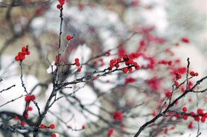 Red winterberries on branches in winter.