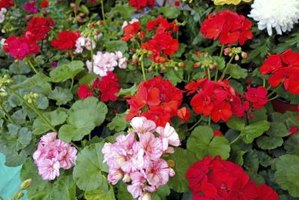 Geraniums bloom in many colors from white to dark pink and bright red.