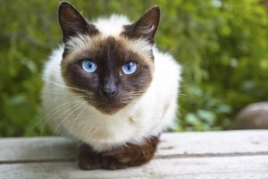 Siamese cats appear to have an increased risk of gastrointestinal lymphoma.