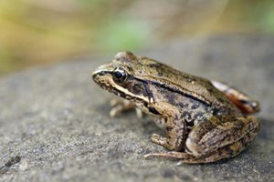 The Pacific tree frog is an insectivore, whose native range extends into the Arizona desert.