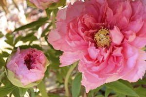 A close-up of pink Japanese tree peony blooms.