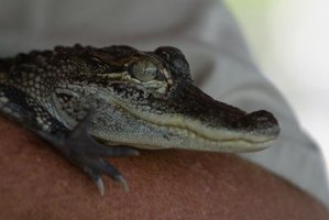 While adults are far too large for a tank, baby alligators can regularly be kept in aquariums.