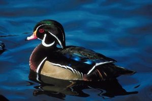 The handsomely colored wood duck favors tree cavities for nesting.