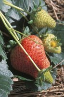 Use biological controls to safely treat strawberry plants that are infested by ants.