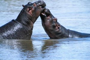 The hippopotamus spends most of its life submerged in water.