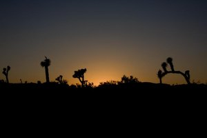 The silhouette of desert plants at night.
