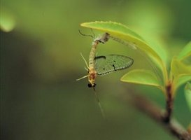 Mayflies are small flying insects that spend their short adult life out of water.