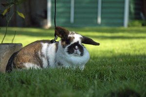 Pet show rabbits should be leashed for daily exercise.