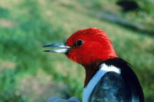 Woodpeckers can damage homes with their pecking.