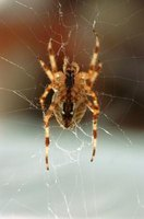 Many species of striped spiders can be found in your own home.
