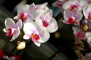 A moth orchid grows best in partial or full shade.