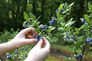 A close-up of a person picking wild huckleberries from a shrub in the woods.