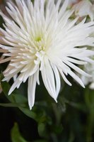 Chrysanthemums require at least partial sunlight to thrive.