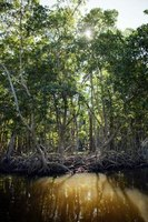 Wide-scale deforestation and logging have threatened mangrove forests.