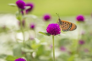 Nectar-rich globe amaranth flowers attract butterflies.