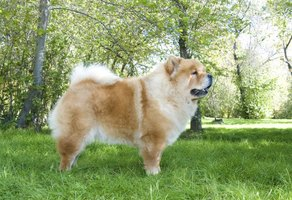 Chow chow dog in a park