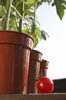 Indoor potted tomatoes dry out less frequently than outdoor potted tomatoes.