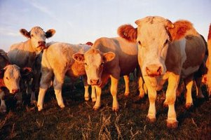 Cows are either considered to be horned or polled.