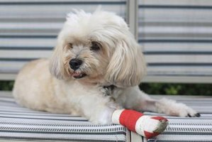 Dog with an injured leg.