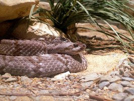 A rattlesnake is coiled in front of its den.