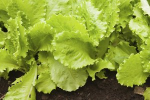For best results with lettuce, hang your rain gutters in an area that gets part sun.