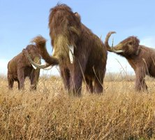 Food extracted from the digestive tracts of mummified mammoths indicates these animals were grazers.