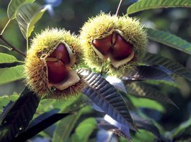 Close-up of chestnuts growing on tree
