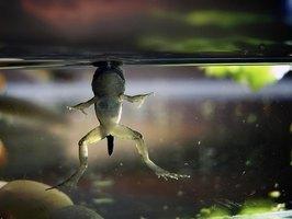 During the final stages of metamorphosis, froglets look like adults with tails.
