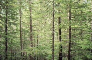 Four native hemlock species grow in North American forests.