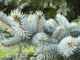 A close-up of a blue spruce branch.