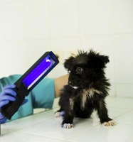 Some veterinarians use a black light to diagnose ringworm infections.