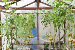 A hothouse makes it possible to grow tomatoes in colder climates.