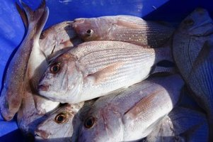 Red snapper are found in the Gulf of Mexico and surrounding waters.