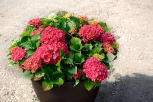How To Grow Hydrangeas In Containers Ehow