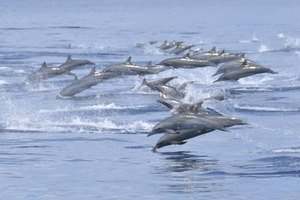 Dolphins jumping out of the ocean.