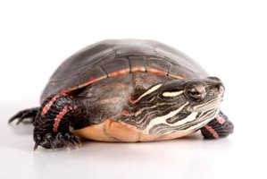 Well-cared-for painted turtles can live more than 25 years.