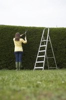 Using a freestanding ladder will help avoid damaging your hedge.