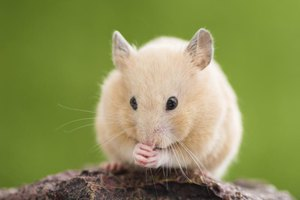 Close-up of small hamster.