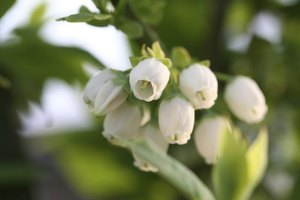 A blueberry's delicate flowers add spring interest to the garden.