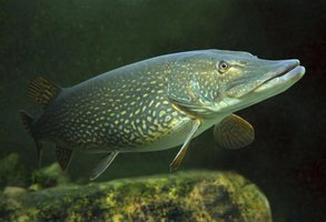 Northern pike coloration features light spots on a dark background.