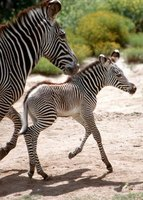 A male zebra foal was born in 2003 at the Safari Park.
