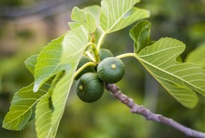 Figs growing on the branch of a tree.