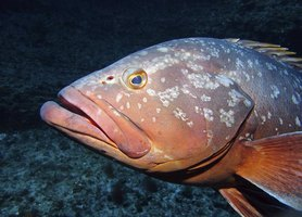 how to hook live bait for grouper