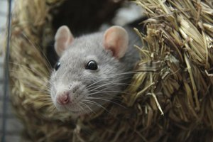 Close-up rat in nest