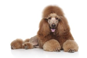 Standard poodles generally have consistent and gentle temperaments.