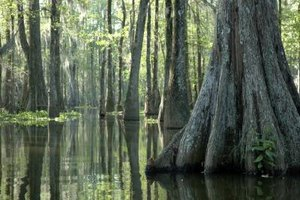 Cypress trees sit knee deep in brackish water.