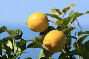 Lemons grow on a tree branch.