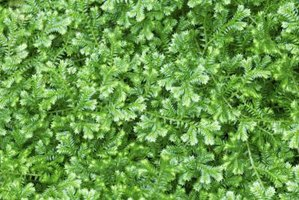 Frosty ferns form a low, dense ground cover in shady outdoor areas.